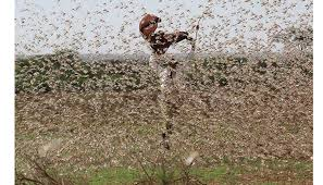 Locust operations conducted in Rajasthan and MP